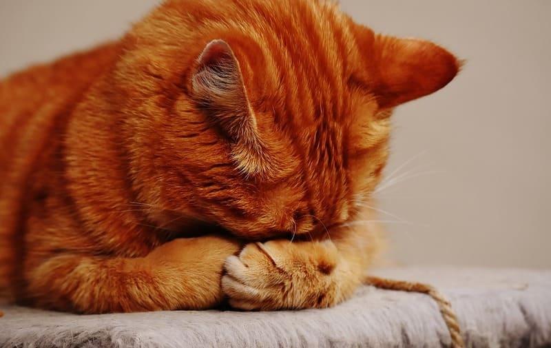 Le Drontal cat 2 comprimes pour éliminer tous les vers intestinaux de l'animal